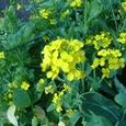 za 小松菜の花